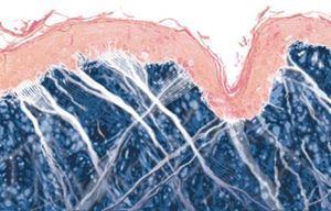 Avec l'âge, la jonction entre les couches supérieures et moyennes de la peau (épiderme et derme) se modifie. Cette jonction est constituée de papilles. Les vaisseaux situés au centre de chacune des papilles fournissent à la couche supérieure de la peau les nutriments, l'eau et l'oxygène dont elle a besoin. Dans les peaux jeunes, elles sont profondes et groupées, ce qui donne à la peau jeune son épaisseur et sa texture lisse