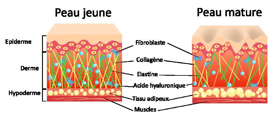 skin shape la régénération des cellules de la peau