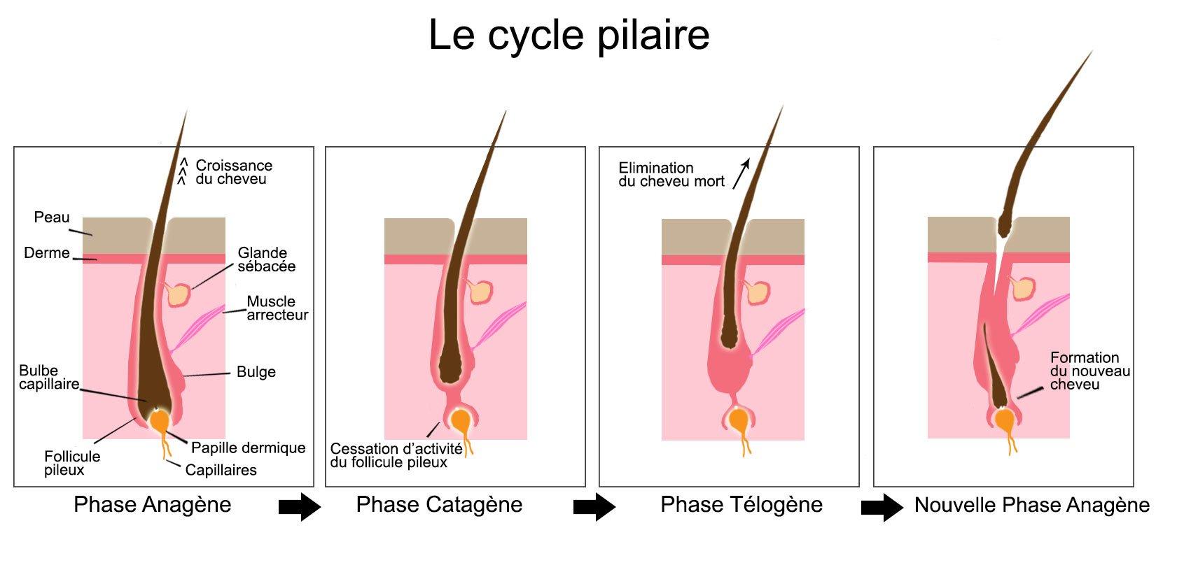 les phases de croissance des cheveux